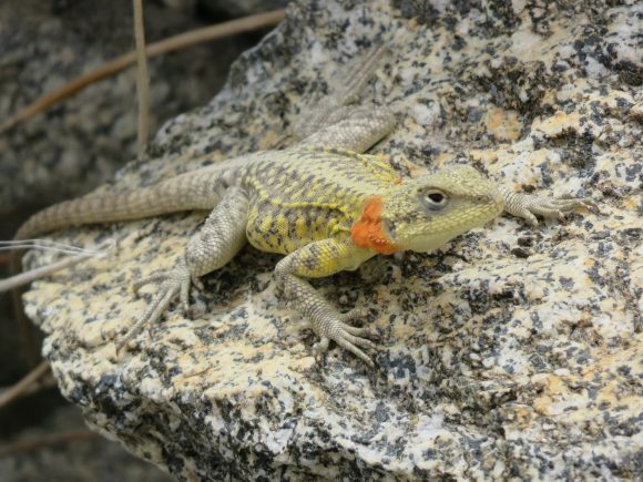 Salamandre himalayen, 2016-Chemins et découverte