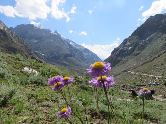 Bellis Perennis, Nun-Kun Glacier 2016 - Chemins et découverte
