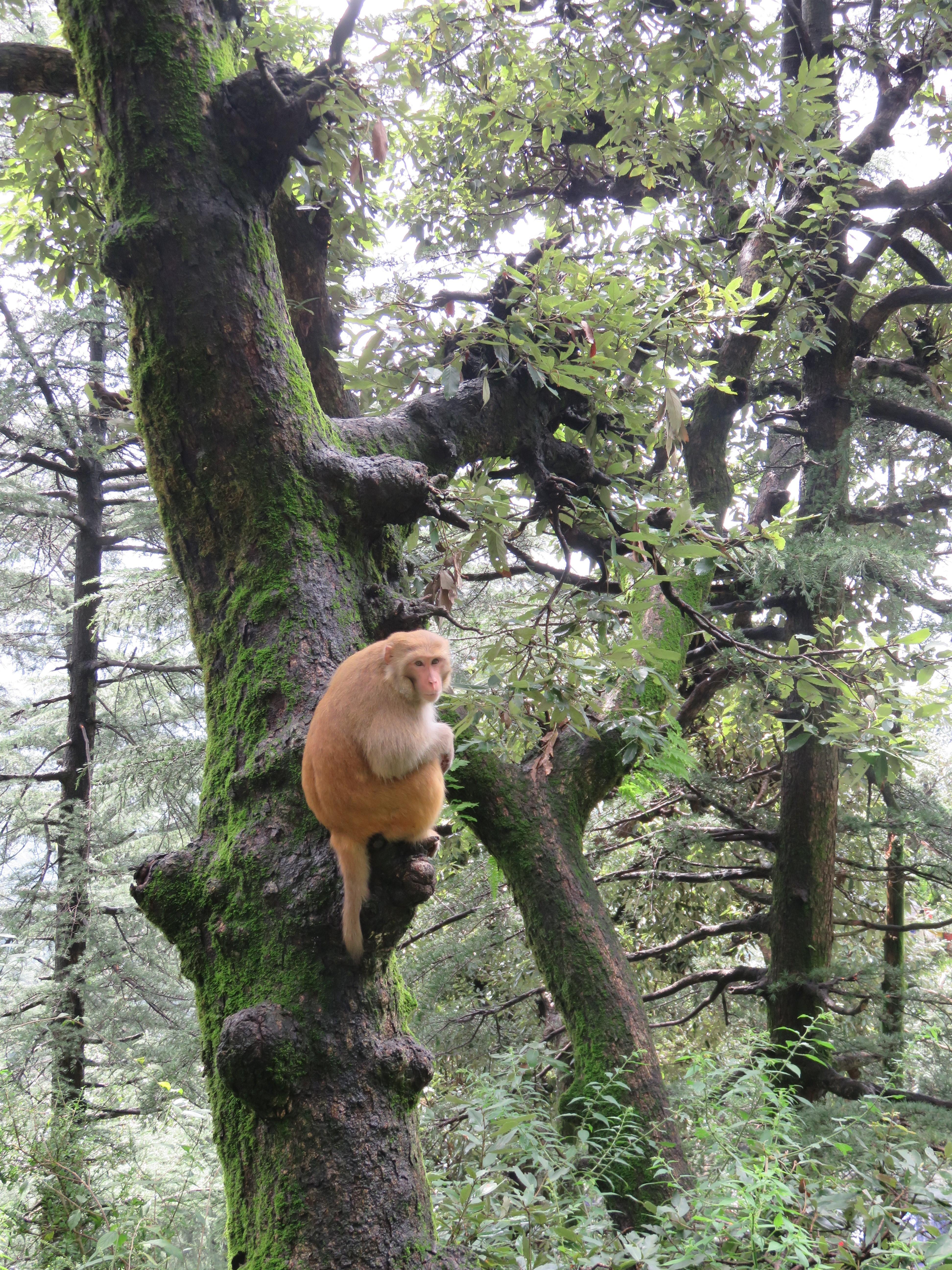 Monkey, Dharamsala-2016-Chemins et découverte